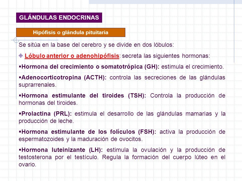 Hipófisis o glándula pituitaria