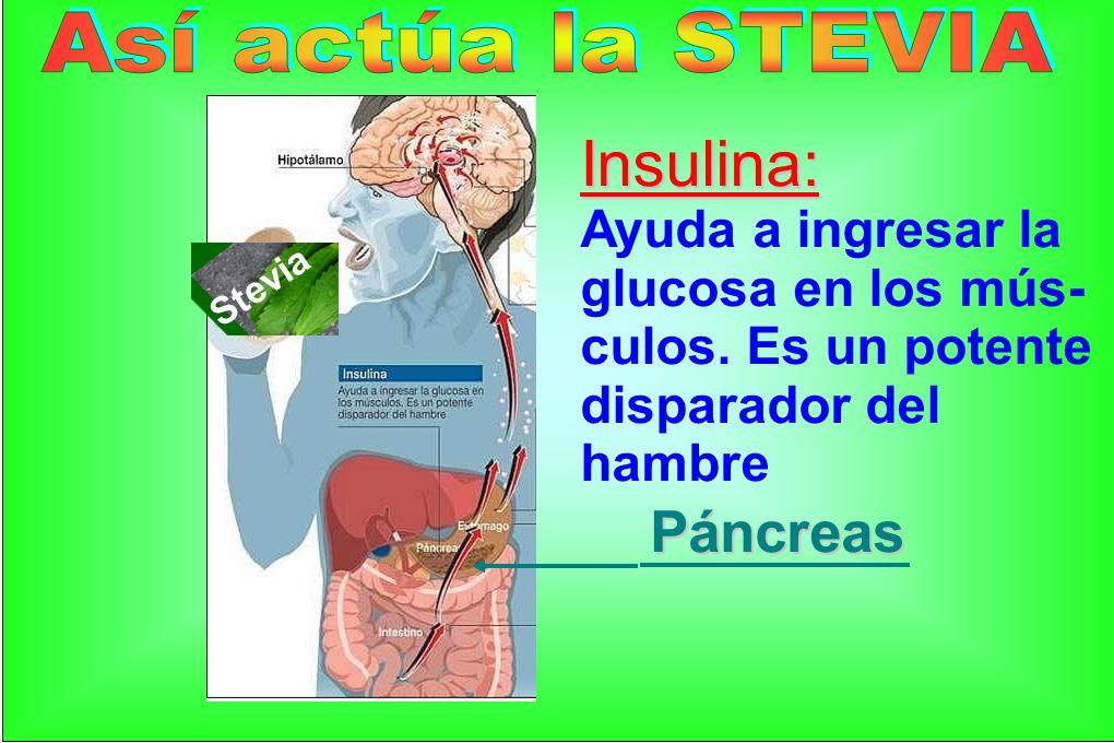 Insulina: Páncreas Así actúa la STEVIA