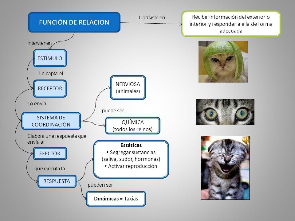 FUNCIÓN DE RELACIÓN Consiste en. Recibir información del exterior o interior y responder a ella de forma adecuada.