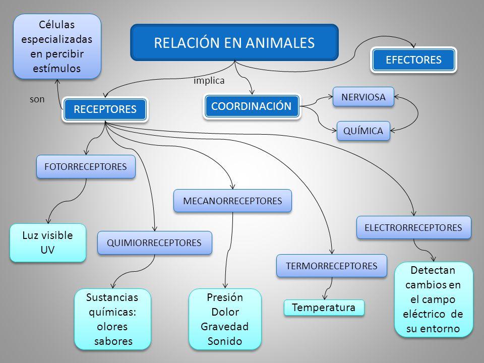 RELACIÓN EN ANIMALES Células especializadas en percibir estímulos