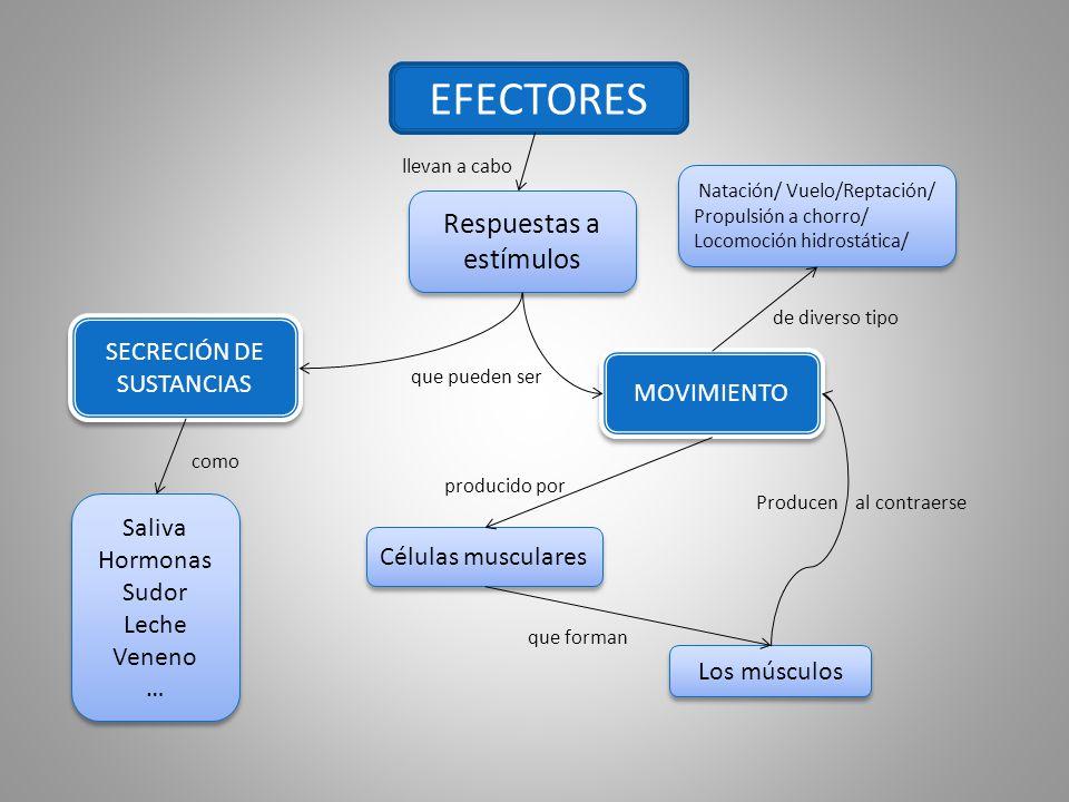 EFECTORES Respuestas a estímulos SECRECIÓN DE SUSTANCIAS MOVIMIENTO