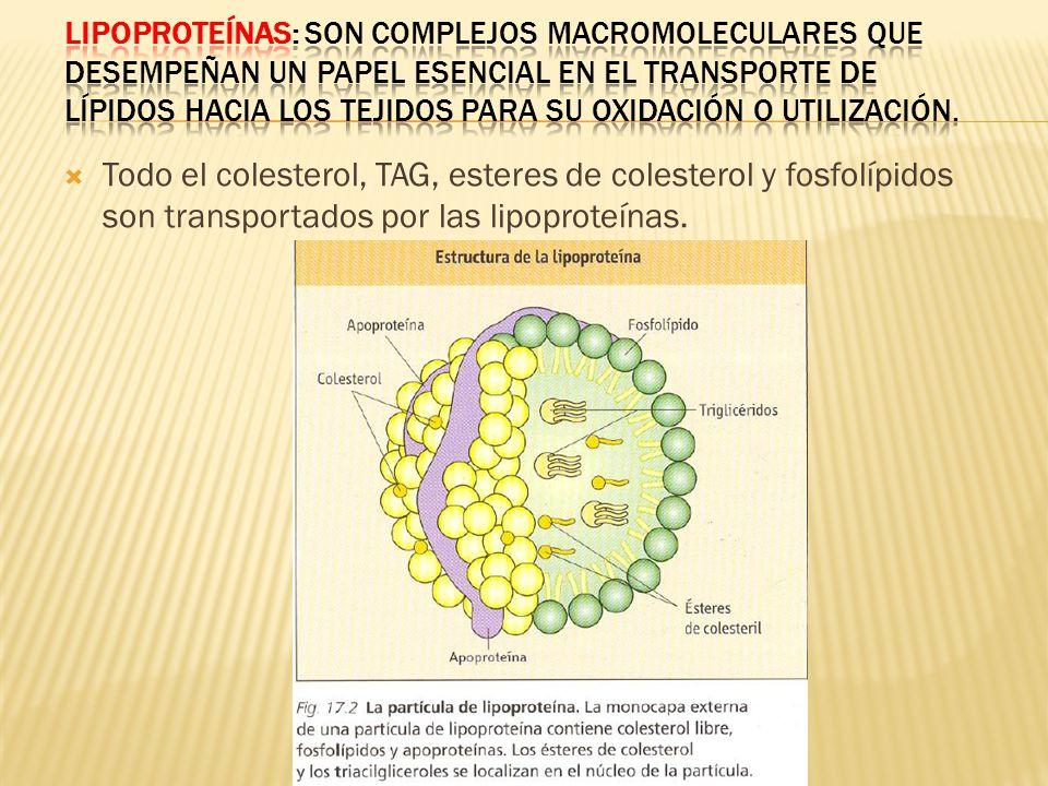 Lipoproteínas: Son complejos macromoleculares que desempeñan un papel esencial en el transporte de lípidos hacia los tejidos para su oxidación o utilización.