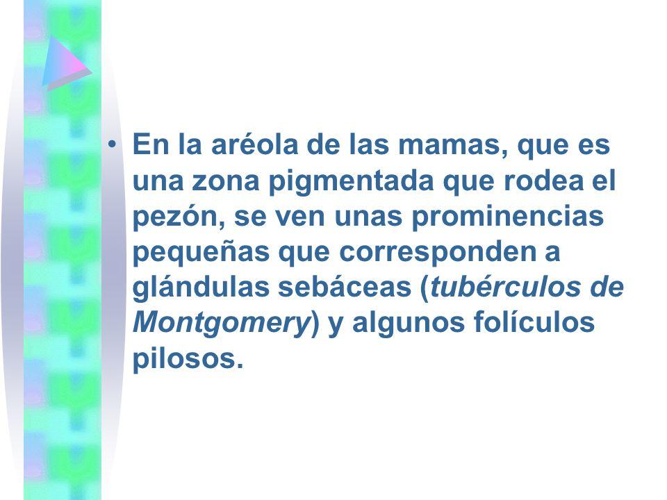 En la aréola de las mamas, que es una zona pigmentada que rodea el pezón, se ven unas prominencias pequeñas que corresponden a glándulas sebáceas (tubérculos de Montgomery) y algunos folículos pilosos.