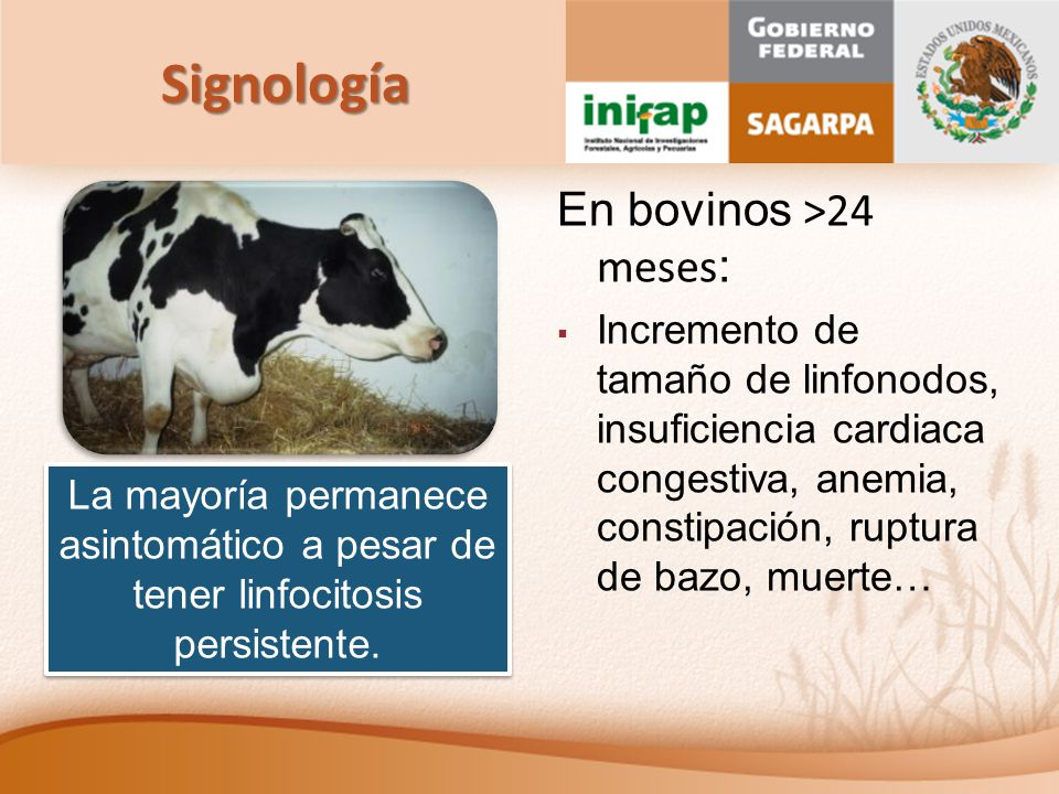 Signología En bovinos >24 meses: