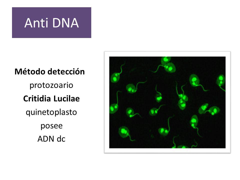 Anti DNA Método detección protozoario Critidia Lucilae quinetoplasto
