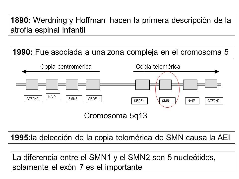 1990: Fue asociada a una zona compleja en el cromosoma 5