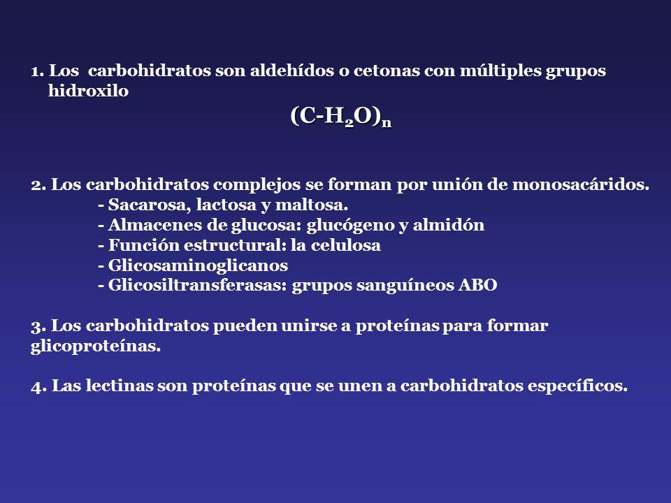1. Los carbohidratos son aldehídos o cetonas con múltiples grupos
