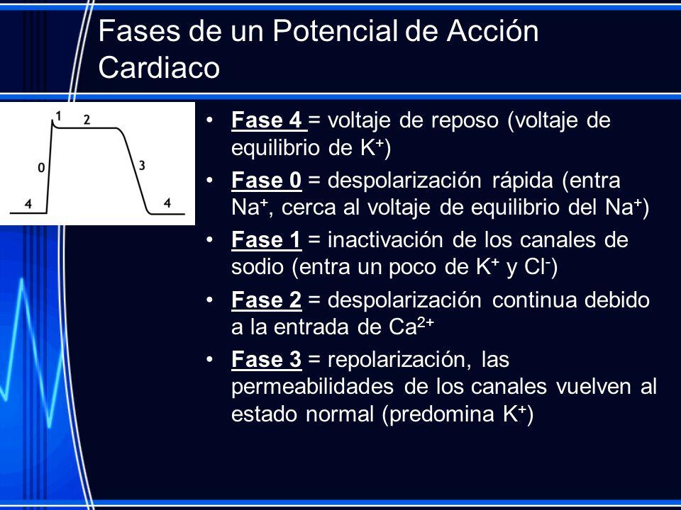 Fases de un Potencial de Acción Cardiaco