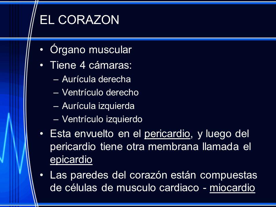 EL CORAZON Órgano muscular Tiene 4 cámaras: