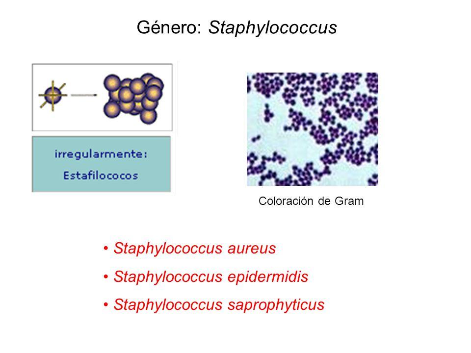 Género: Staphylococcus