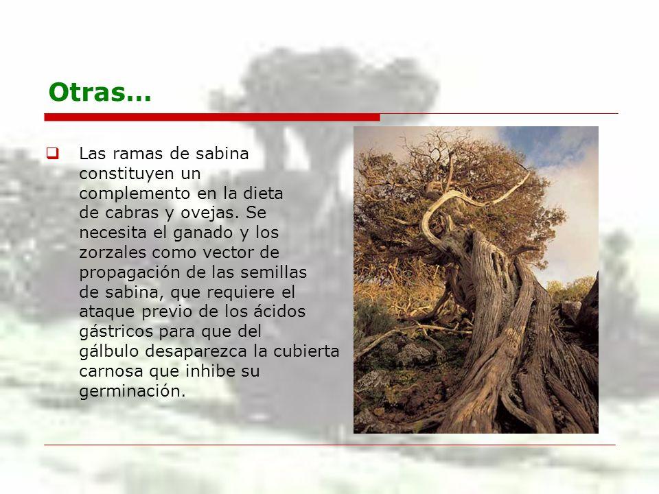 Otras… Las ramas de sabina constituyen un complemento en la dieta
