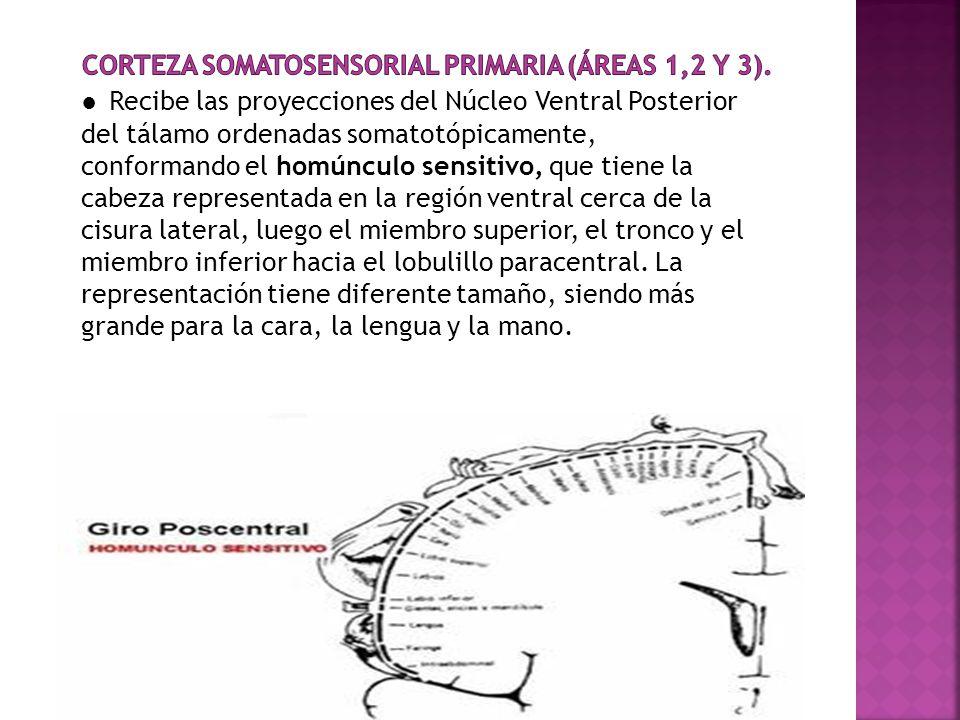 Corteza Somatosensorial Primaria (áreas 1,2 y 3).
