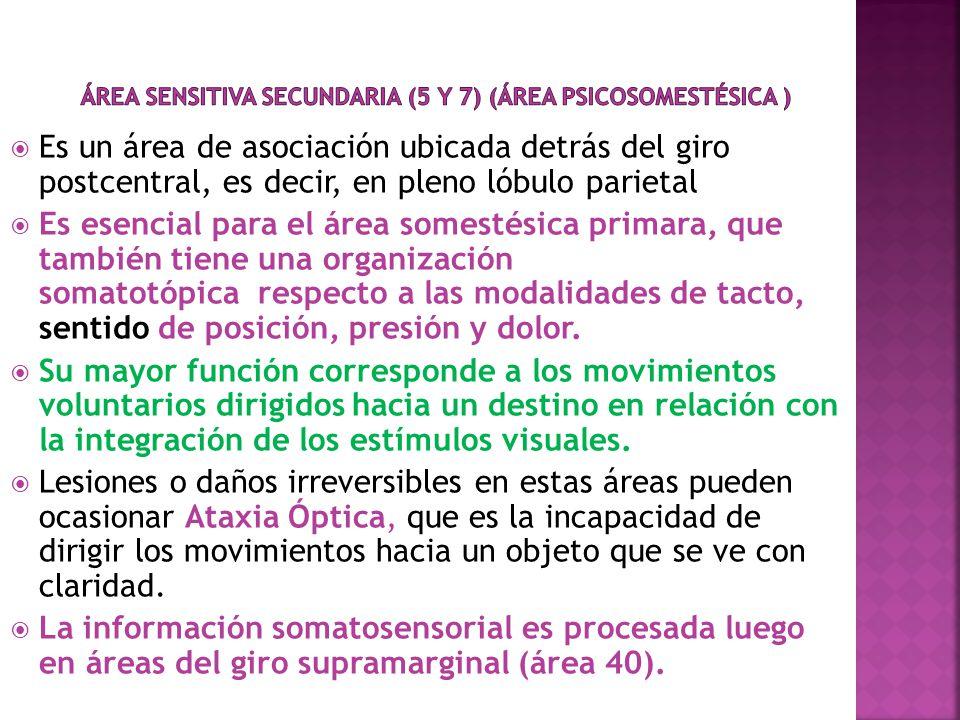 Área sensitiva Secundaria (5 y 7) (Área Psicosomestésica )