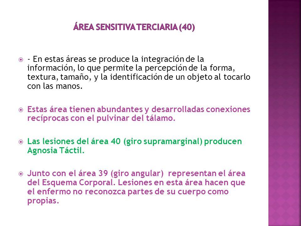 Área sensitiva Terciaria (40)