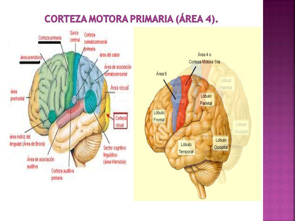 Corteza Motora Primaria (área 4).