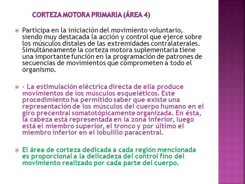 Corteza Motora Primaria (área 4)