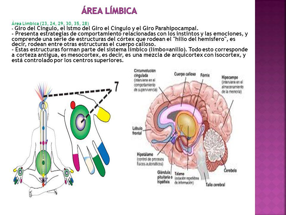 ÁREA LÍMBICA Área Límbica (23, 24, 29, 30, 35, 28) - Giro del Cíngulo, el Istmo del Giro el Cíngulo y el Giro Parahipocampal.