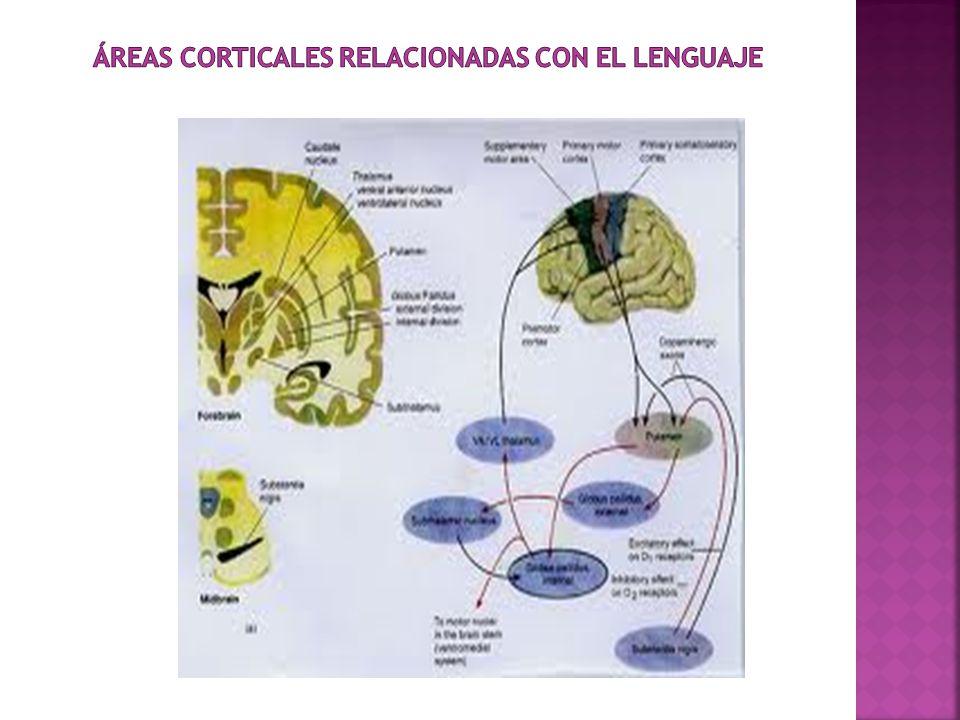 ÁREAS CORTICALES RELACIONADAS CON EL LENGUAJE