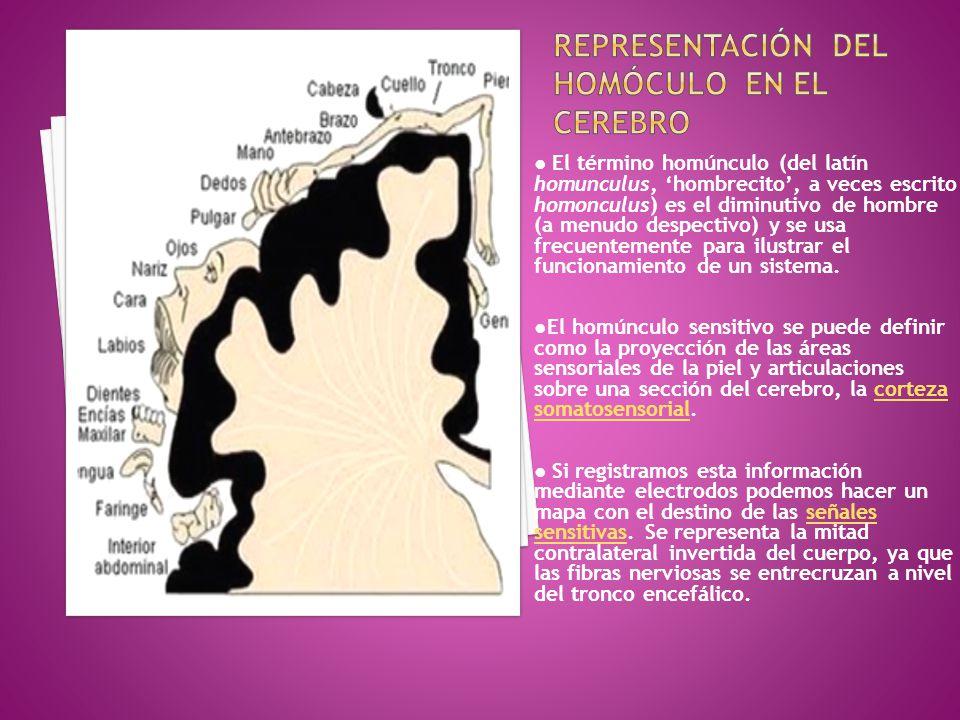 REPRESENTACIÓN DEL HOMÓCULO EN EL CEREBRO