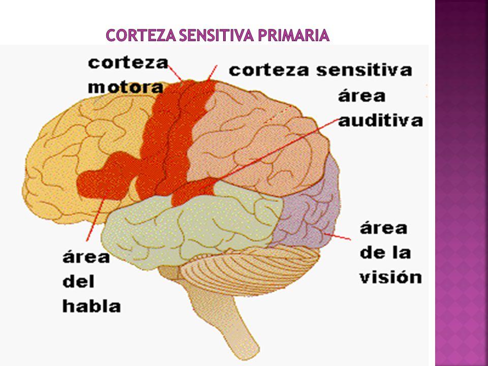 CORTEZA SENSITIVA pRIMARIA