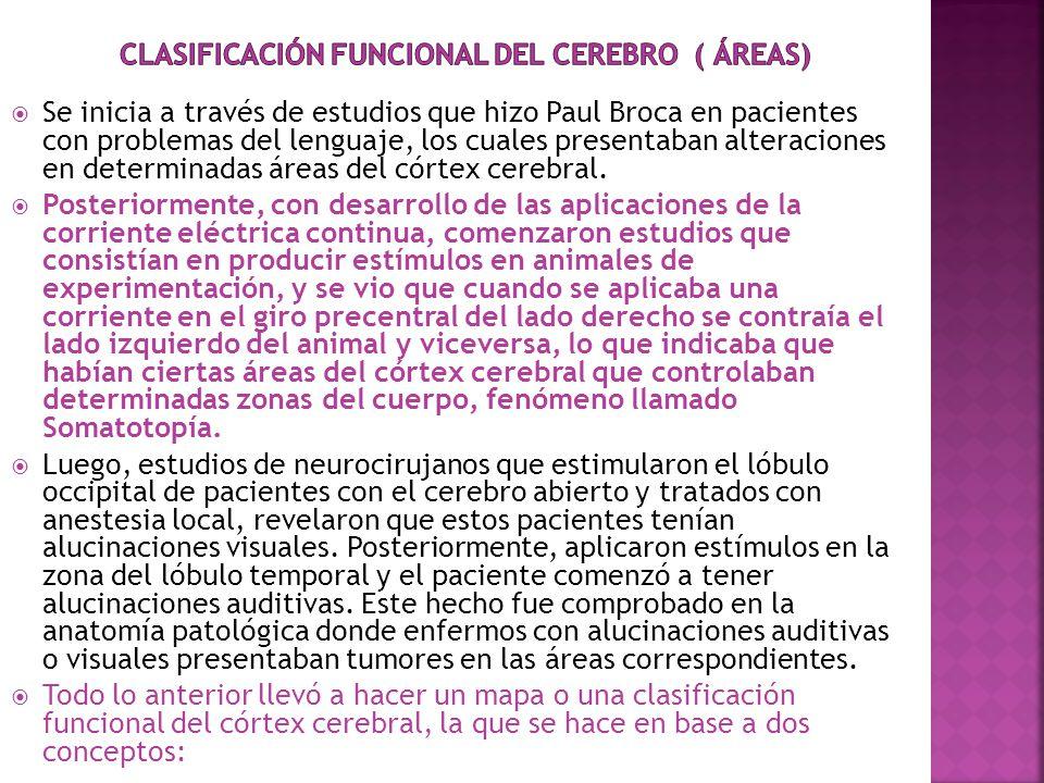 Clasificación funcional del cerebro ( áreas)