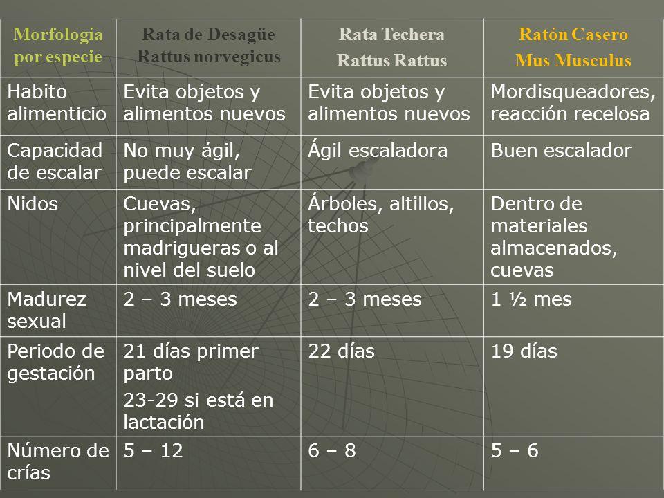 Rata Techera Ratón Casero
