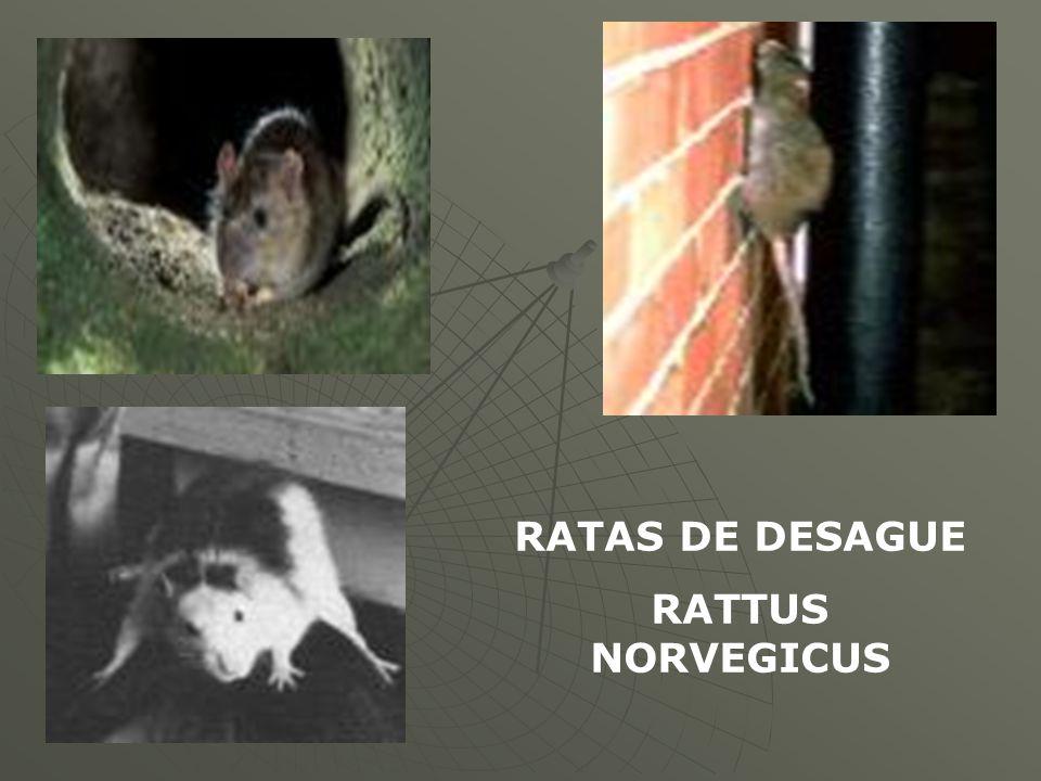 RATAS DE DESAGUE RATTUS NORVEGICUS