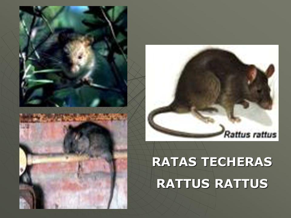 RATAS TECHERAS RATTUS RATTUS