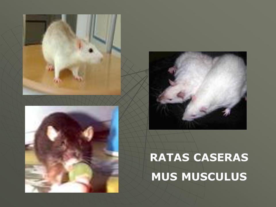RATAS CASERAS MUS MUSCULUS