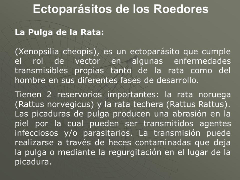 Ectoparásitos de los Roedores