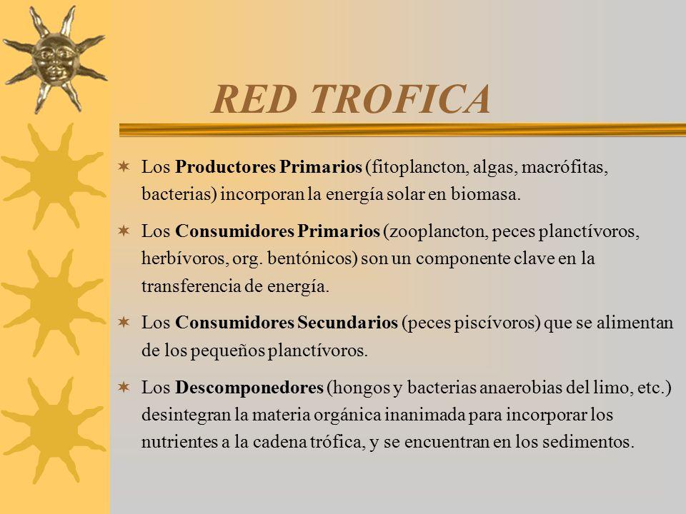 RED TROFICA Los Productores Primarios (fitoplancton, algas, macrófitas, bacterias) incorporan la energía solar en biomasa.