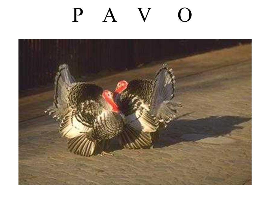 P A V O