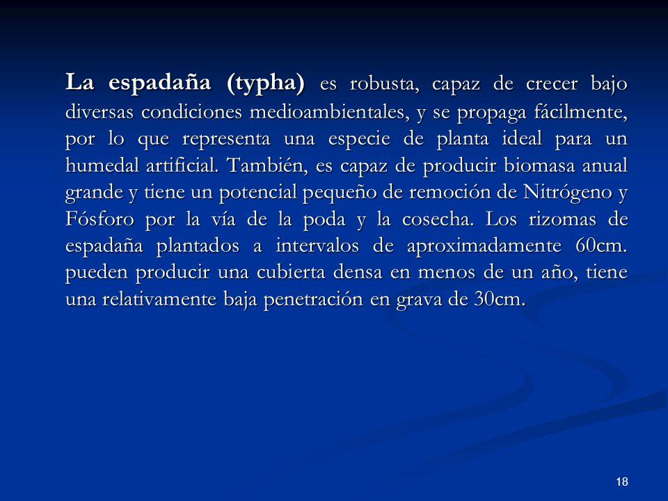 La espadaña (typha) es robusta, capaz de crecer bajo diversas condiciones medioambientales, y se propaga fácilmente, por lo que representa una especie de planta ideal para un humedal artificial.