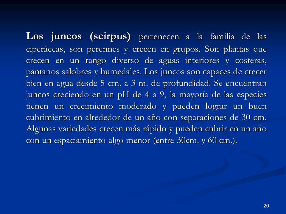 Los juncos (scirpus) pertenecen a la familia de las ciperáceas, son perennes y crecen en grupos.