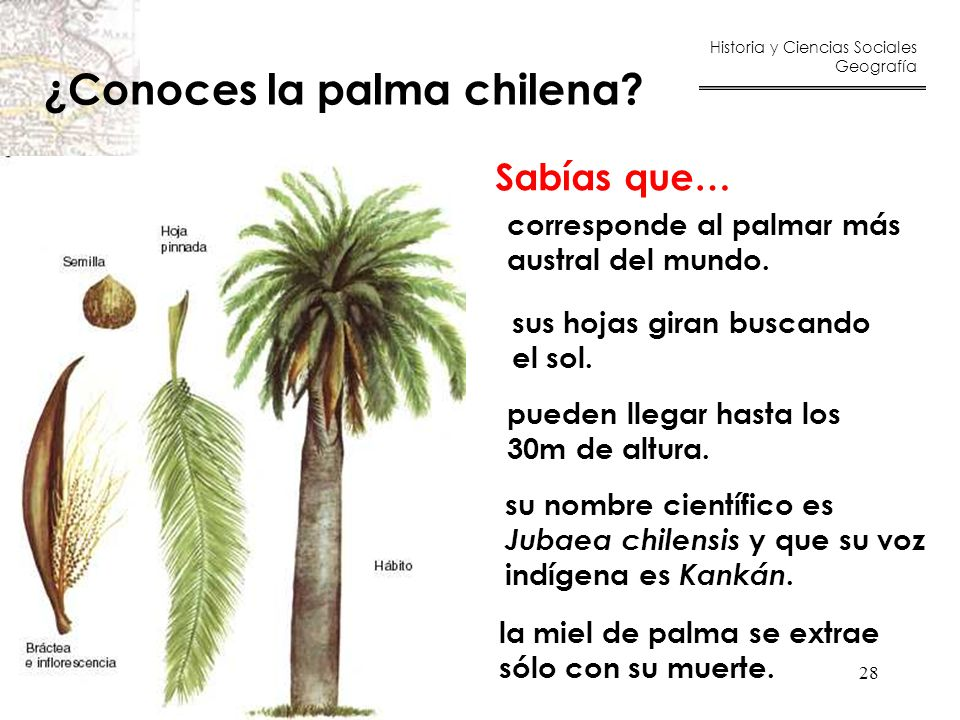 ¿Conoces la palma chilena