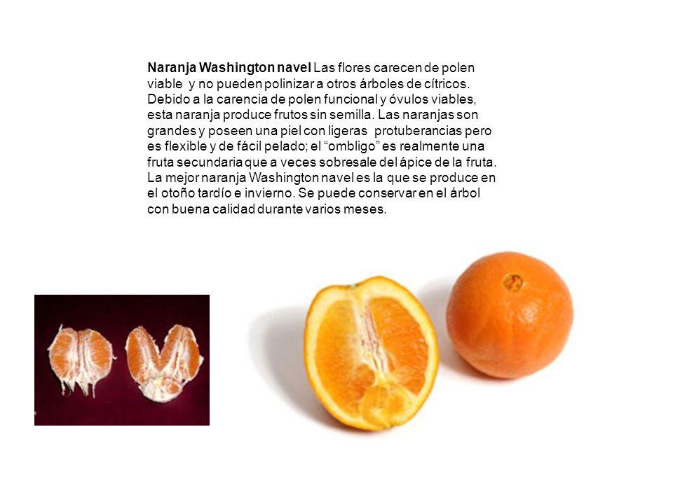 Naranja Washington navel Las flores carecen de polen viable y no pueden polinizar a otros árboles de cítricos.