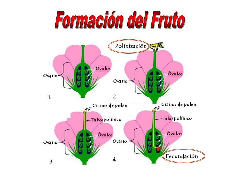 Formación del Fruto