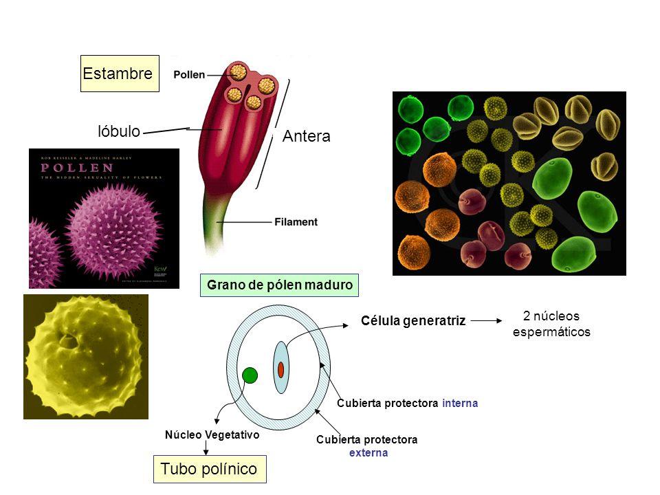 Estambre lóbulo Antera Tubo polínico Grano de pólen maduro 2 núcleos
