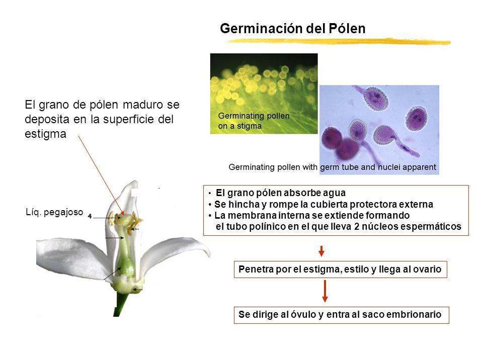 Germinación del Pólen El grano de pólen maduro se