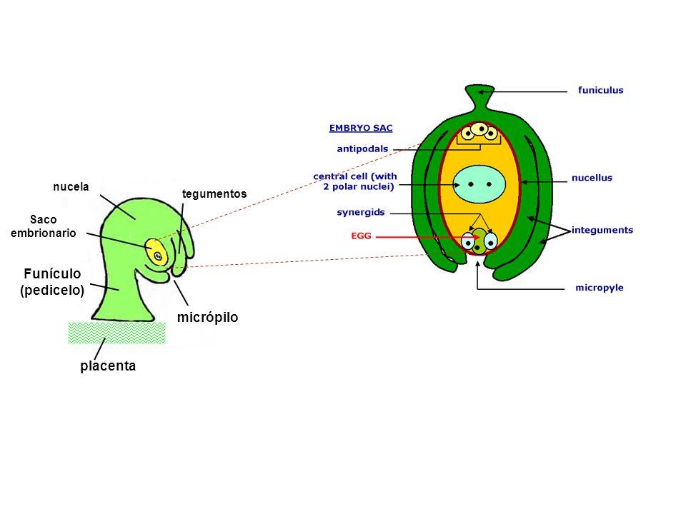 Funículo (pedicelo) micrópilo placenta nucela tegumentos