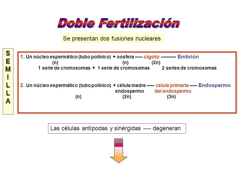 Doble Fertilización S E M I L A Se presentan dos fusiones nucleares