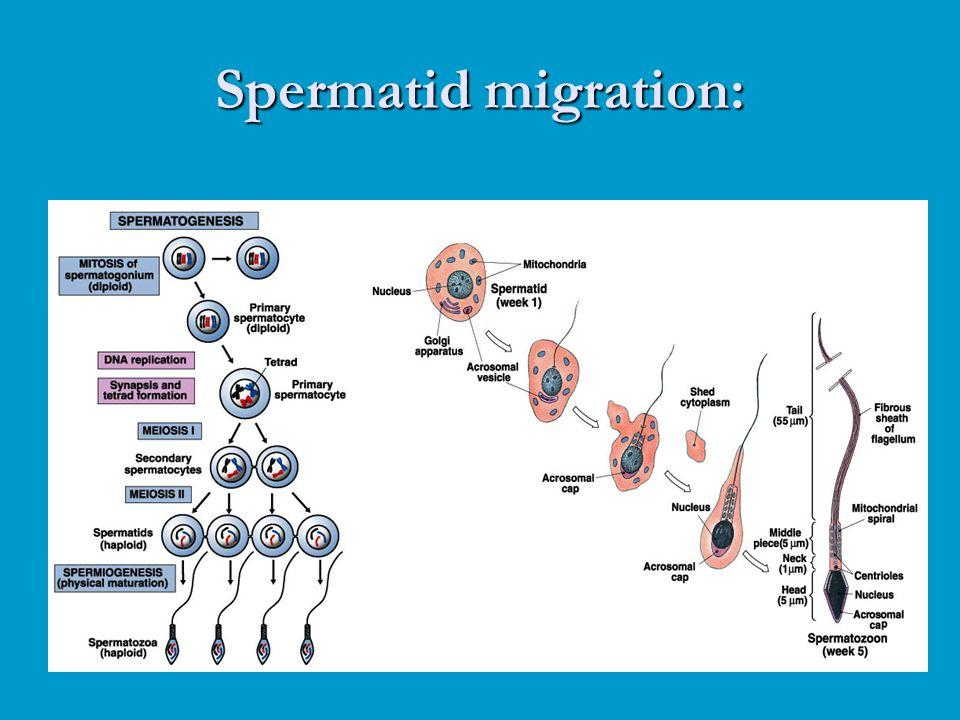 Spermatid migration: