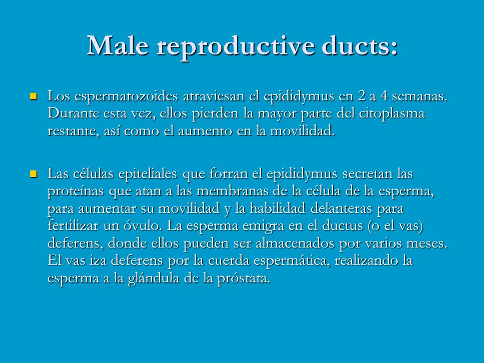 Male reproductive ducts: