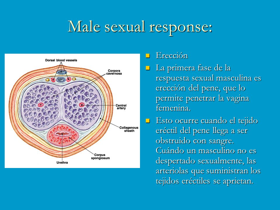 Male sexual response: Erección