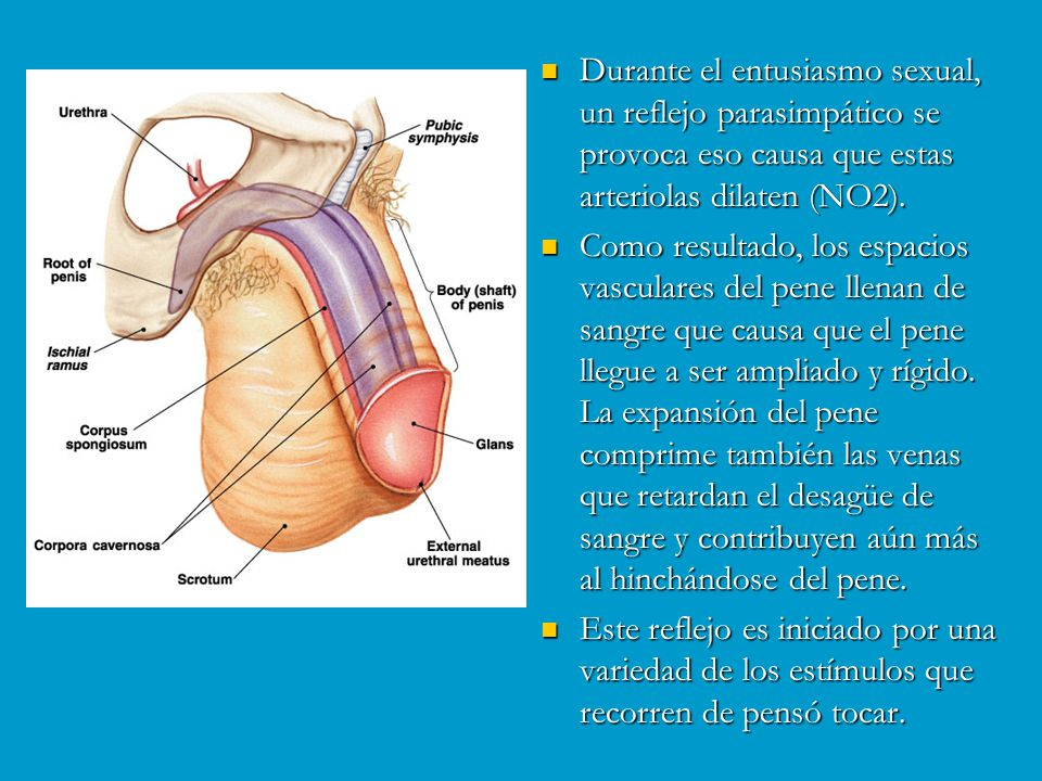 Durante el entusiasmo sexual, un reflejo parasimpático se provoca eso causa que estas arteriolas dilaten (NO2).