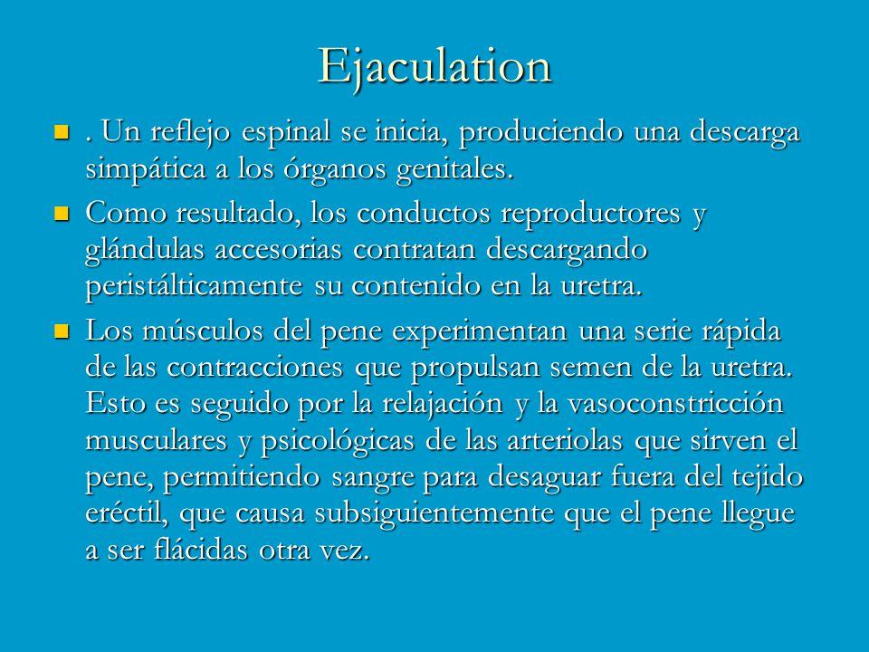 Ejaculation . Un reflejo espinal se inicia, produciendo una descarga simpática a los órganos genitales.