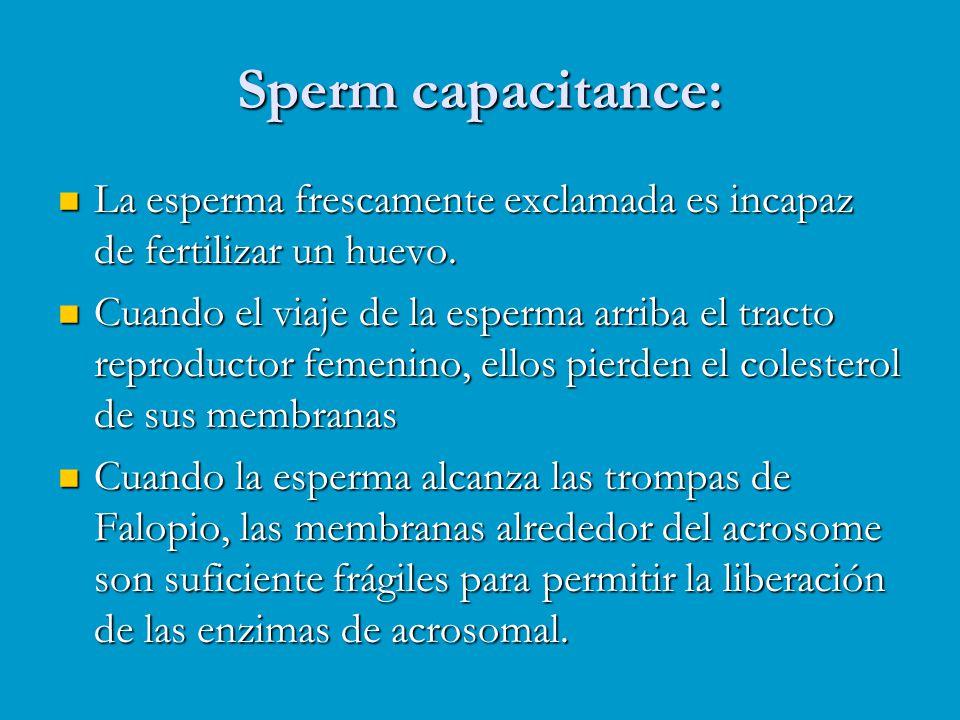 Sperm capacitance: La esperma frescamente exclamada es incapaz de fertilizar un huevo.