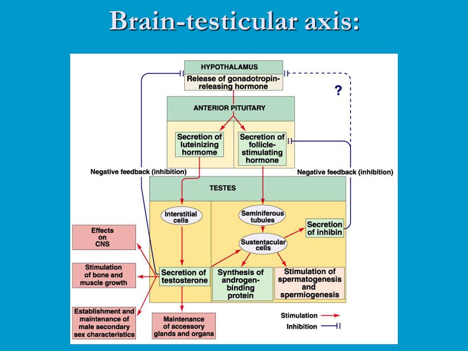 Brain-testicular axis: