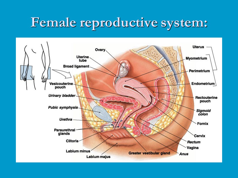 Female reproductive system: