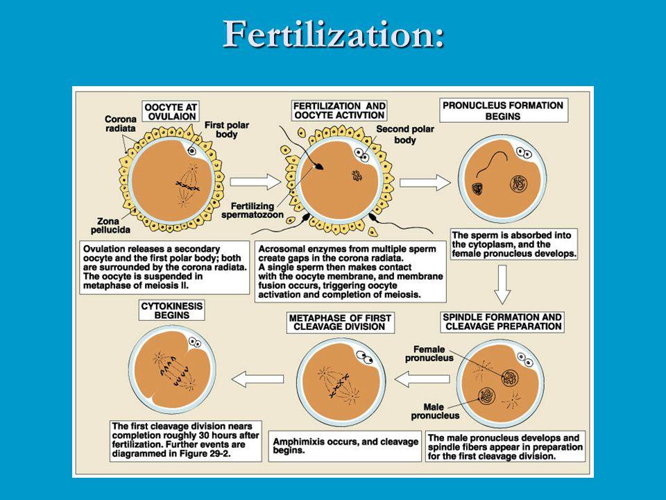 Fertilization: